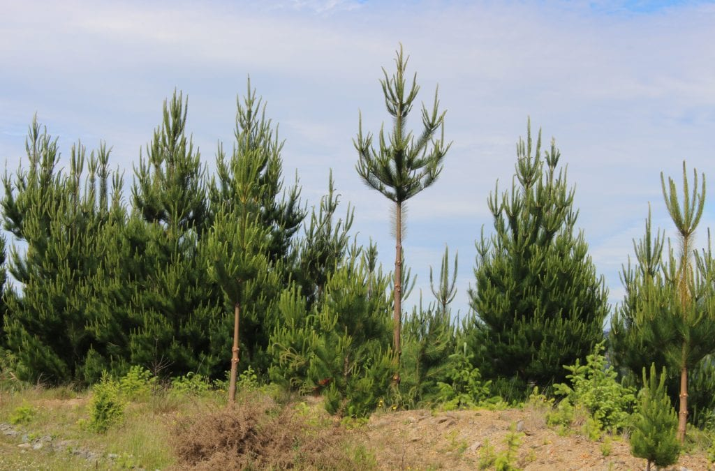 Pruned tree
